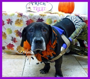 Fred Bear in his Halloween outfit! Big guy, part lab part basset??