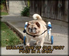 Beulah the Pug