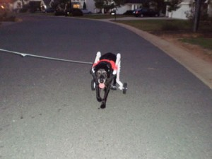 Sierra on her nightly 1/2 mile walk.