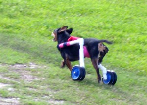 Josie running full speed in her walking cart. Little dogs fly on wheels!
