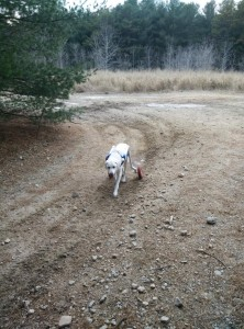 Buster hiking.  His walking model helped him become more mobile.  He has arthritic hips.  He has his freedom back!  WOOHOO!