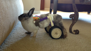 This is Charles in his cart (bunny in measurement photo). It is a perfect fit. Use this photo to guide you with your rabbit's measurements.