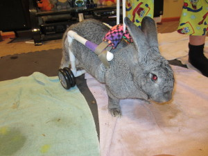 Licorice learning to use her new wheels. We make lots of bunny carts and they adapt very well to them!