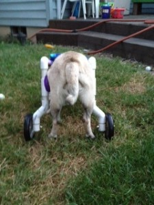 Lola enjoying a backyard sniff in her walking cart. We love PUGS!