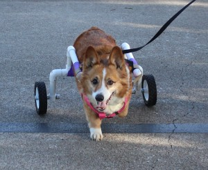 Scooter in his new walking cart. He has degenerative myelopathy and the cart helps to keep him in good shape with exercise.