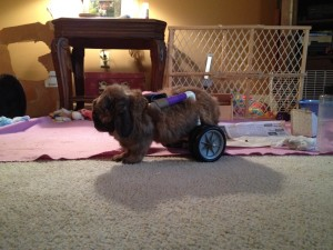 Thumbelina, tiny lion head bunny in her new cart. She loves her new found mobility.