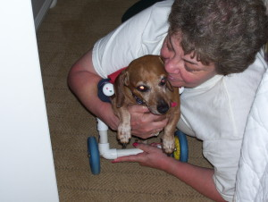 Francielou, one of our very first dachshunds on wheels. We love our babies!